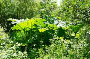 Giant Gunera plants by the pond